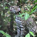Wild Cat at Belize Zoo