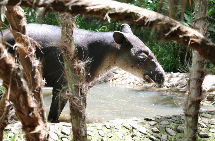animal at belize zoo