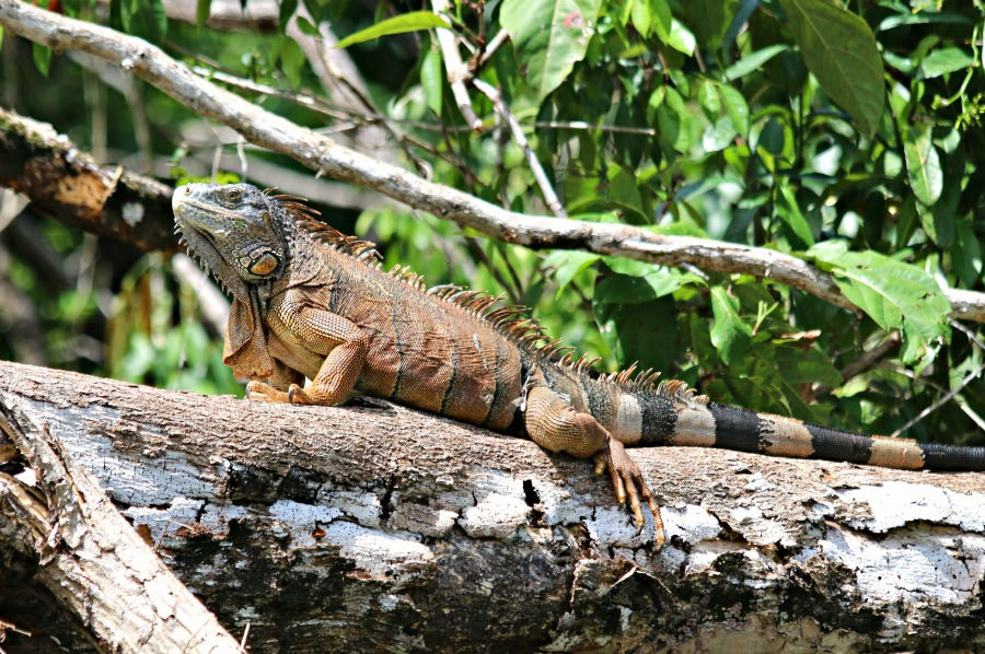belize lizard